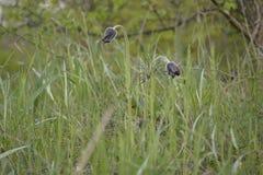 Pasque-цветок Стоковая Фотография RF