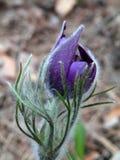 Pasque-цветок Стоковые Фотографии RF