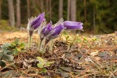 Pasque-цветок Стоковые Изображения RF