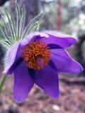 Pasque-blomma Arkivfoton
