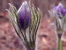 Pasque-blomma Royaltyfri Bild