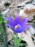 Pasque-blomma Royaltyfri Foto