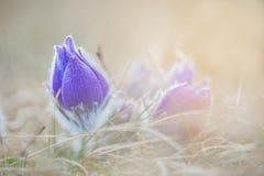 Pasque blomma Arkivfoton
