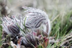 Pasque-blomma eller vulgaris blom för Pulsatilla i tidig vår royaltyfri foto