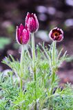 Pasque-blomma i trädgården Arkivbild