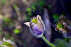 Pasque blomma i vårträdgård Royaltyfri Bild