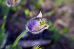 Pasque blomma i vårträdgård Arkivbild