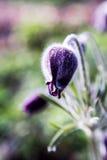 Pasque blomma i vårträdgård Arkivbilder