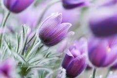 Pasque blommor arkivbild