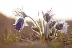 Pasque blommor i en varm och tidig vårskymning Arkivfoton