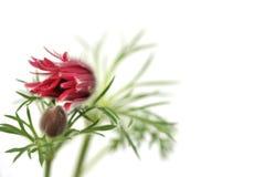 Pasque blommor på vit bakgrund Arkivfoton