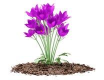Pasque blommor som isoleras på vit Royaltyfria Bilder