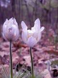 Pasque-Blume Stockbild