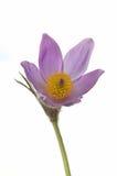 Pasque Blume getrennt Stockbilder