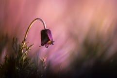 Pasque-Blume im purpurroten Licht Stockbilder