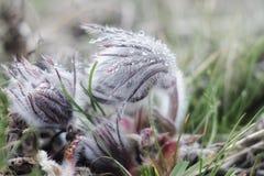 Pasque-Blume oder gemeine Blüte des Pulsatilla im Vorfrühling lizenzfreies stockfoto