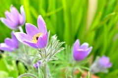 pasque Blumen 1 Lizenzfreie Stockfotografie