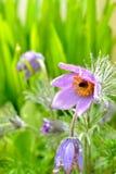 Pasque-Blumen 3 Stockfotos