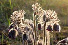 Pasque-Blumennahaufnahme mit Hintergrundbeleuchtung im wilden Stockfoto