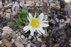 Pasque de florescência branco Fotografia de Stock Royalty Free