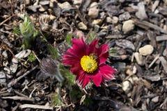 Pasque de florescência roxo escuro com abelha Imagens de Stock Royalty Free