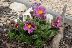 Pasque de florescência roxo grande Fotografia de Stock Royalty Free