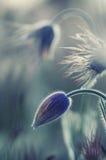Pasque Dzicy kwiaty Obrazy Royalty Free