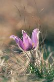 Pasque Dziki kwiat Fotografia Royalty Free