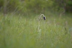 Pasque-fiore Fotografie Stock