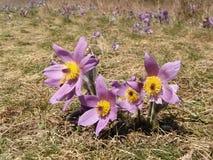 Pasque-fiore in primavera immagine stock