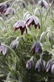 Pasque-fleur Photo libre de droits