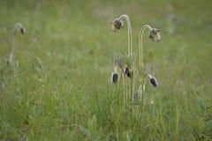 Pasque-fleur Photographie stock