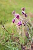 Pasque-fleur sauvage Photo libre de droits
