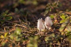 Pasque-flor imagenes de archivo