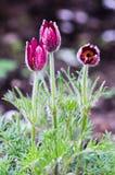 Pasque-flor en el jardín fotografía de archivo