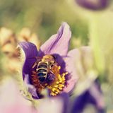 Pasque-flor peludo pequena roxa bonita (Grandis do Pulsatilla) florescendo no prado da mola no por do sol Imagens de Stock Royalty Free