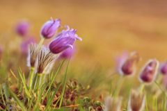 Pasque-flor peludo pequena roxa bonita (Grandis do Pulsatilla) florescendo no prado da mola no por do sol Fotografia de Stock Royalty Free