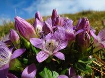 Pasque floreció encima de las montañas austríacas Foto de archivo libre de regalías