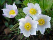 Pasque-flores fotografia de stock