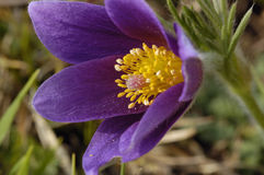 Pasque Flower Stock Image