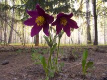 Pasque-flower. In forest Stock Photos