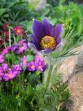 Pasque Flower Imágenes de archivo libres de regalías