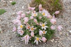 Pasque Flower Fotos de archivo libres de regalías