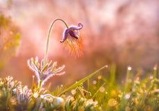 Pasque Flower Fotografía de archivo libre de regalías