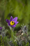 Pasque Flower Images libres de droits