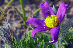 Pasque Flower Fotos de archivo