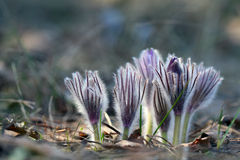Pasque Flower Royalty-vrije Stock Foto's