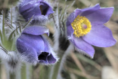 Pasque flower Royalty Free Stock Photography
