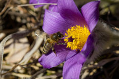 Pasque Flower Stockfoto