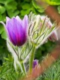 Pasque Flower Lizenzfreies Stockbild